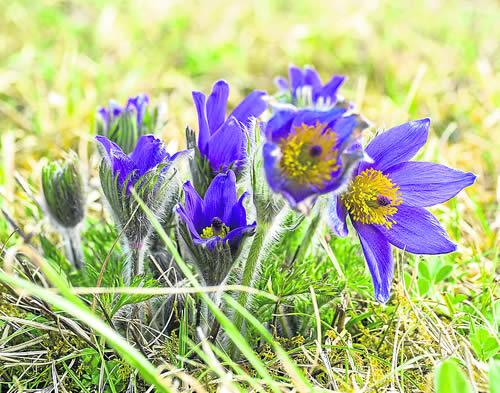 Pulsatilla (Flor del viento)